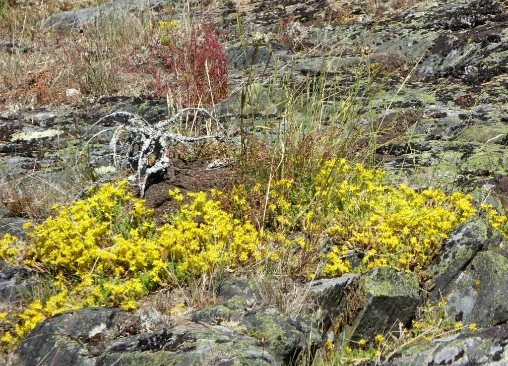 Blommande gul fetknopp är förhoppningsvis en syn som kommer att bli vanligare i framtiden på de restaurerade öarna.
