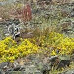 Blommande gul fetknopp på Ärnön är förhoppningsvis en syn som kommer att bli vanligare i framtiden på de restaurerade öarna.