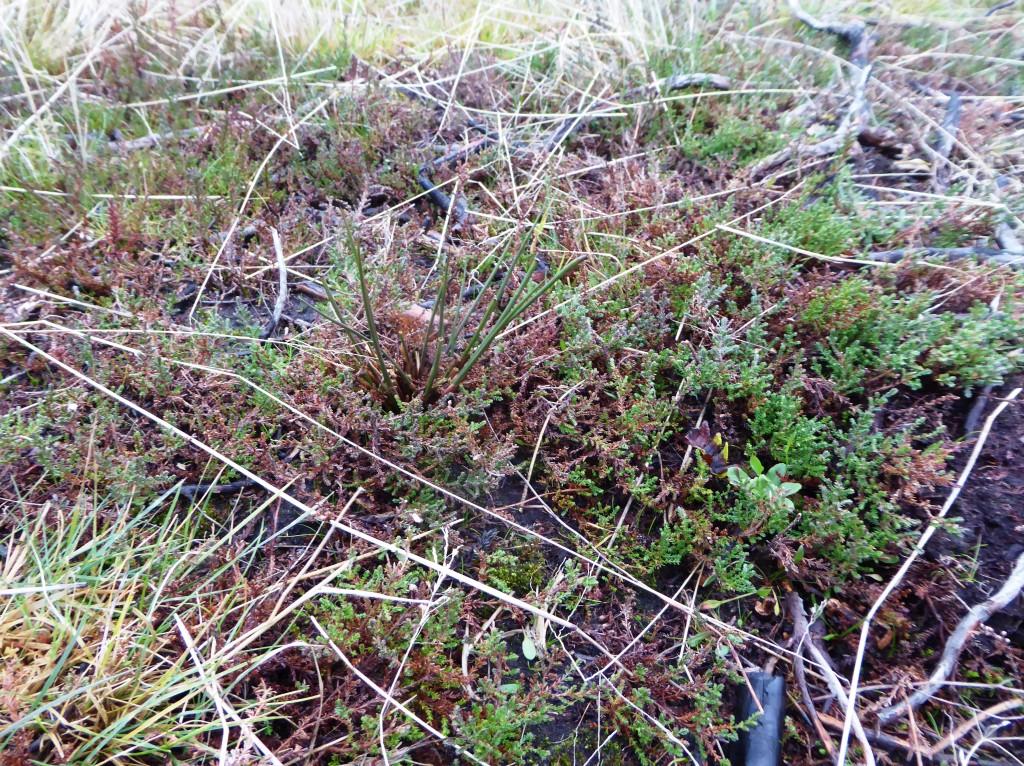 Ljungbränningen på Vithall har givit möjlighet till en spädare växtlighet att gro vilken är mer attraktiv för betesdjuren.