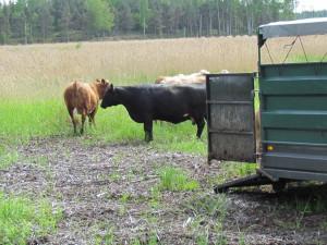 Betesdjuren kommer ur djurtransporten.