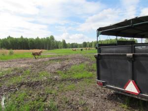 Korna undersöker den nya betesmarken.