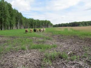 Korna på utflykt i nya grönområden.