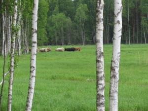 Korna på utflykt norr ut i den nya betesmarken.